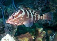 Image of a Nassau grouper