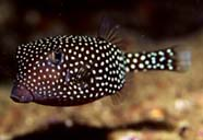 Image of a spotted boxfish