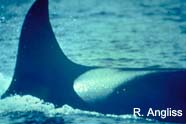 Image of killer whale fin
