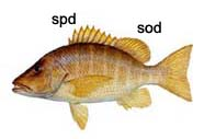 Graphic of snapper (side view)